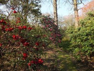 Rhododendron Rocket