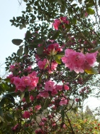 Rhododendron Rosamond