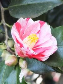 Camellia Tricolor