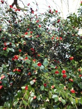 Camellia japonica Chandlers Red