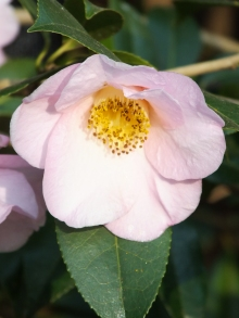 Camellia Elizabeth Rothschild