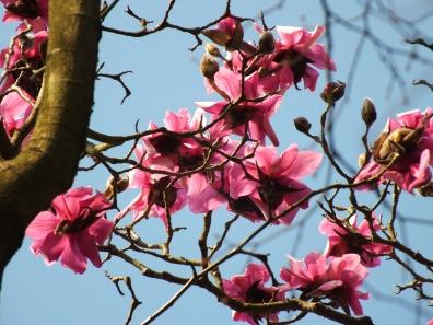 Magnolia campbellii subs.,