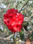 Rhododendrom Choremia Tower Court
