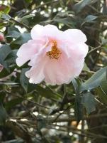 Camellia Salutation