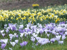 Pale narcissus and crocus in The Glades
