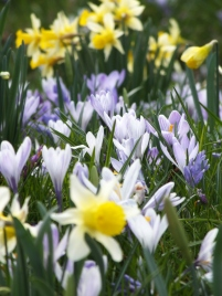Crocus and Narcissus