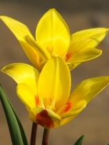 Tulip Guiseppe Verdi
