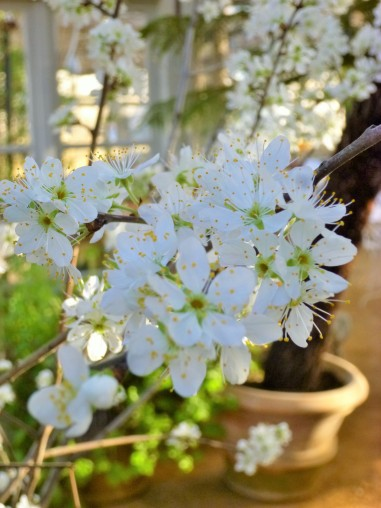 Damson Merryweather blossom