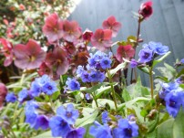 Pulmonaria Blue Ensign and Hellebore Anna's Red