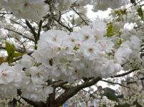 Great White Cherry - Tai Haku