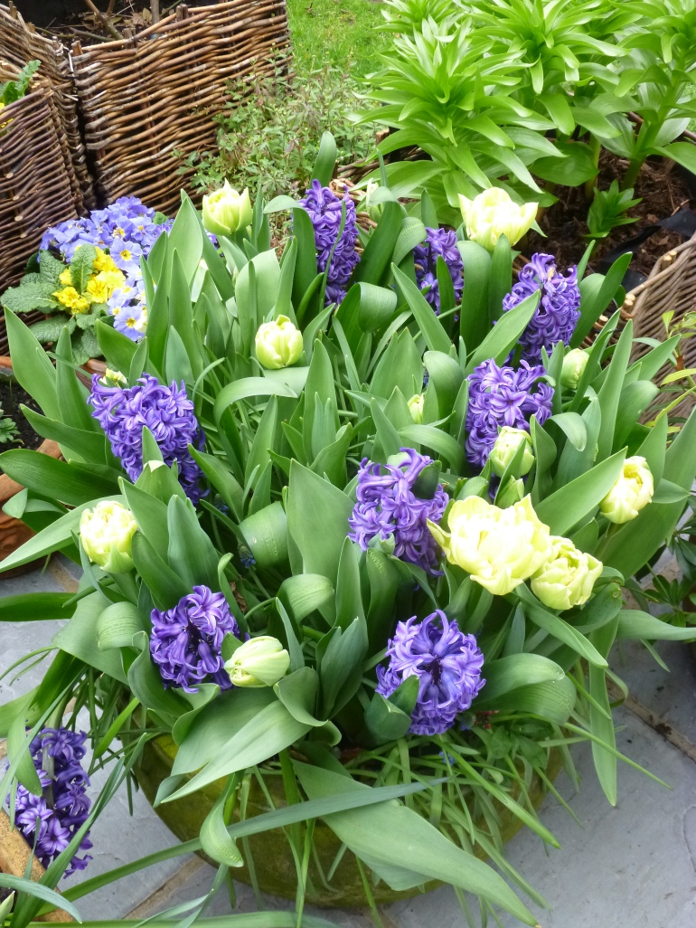 Green-white tulips and hyacinths