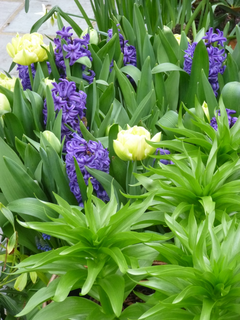 Fritillaria imperialis, white tulips and blue hyacinths