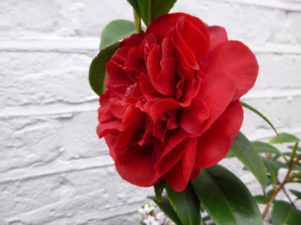 Camellia Midnight Magic