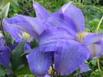 Clematis Mrs N Thompson