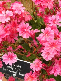Lewisia cotyledon Ashwood Ruby