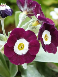 Primula auricula Martin Luther