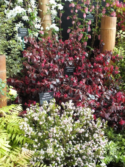 Loropetalum chinensis Fire Dance from Eleplants