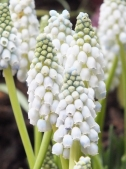 Muscari White Lady