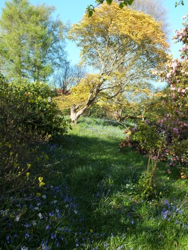 Acers and bluebells