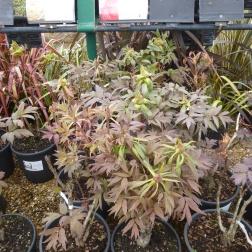 Tree paeonies - £60-£100