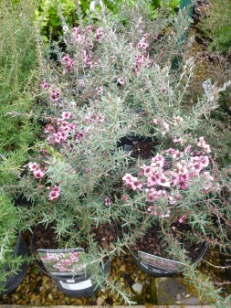 Leptospermum martinii