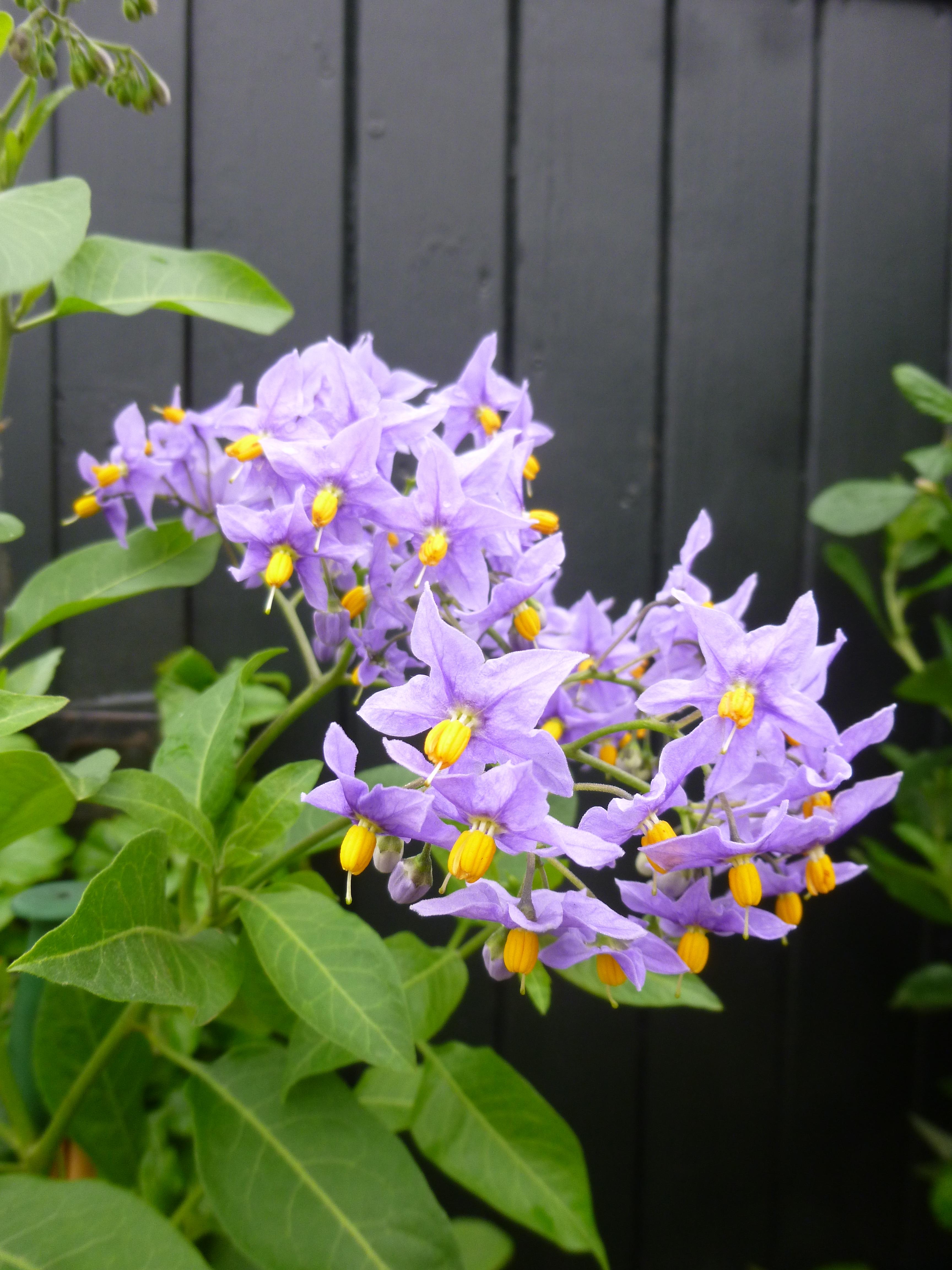 Solanum crispum glasnevin the beautiful blue potato vine the p1040576 izmirmasajfo