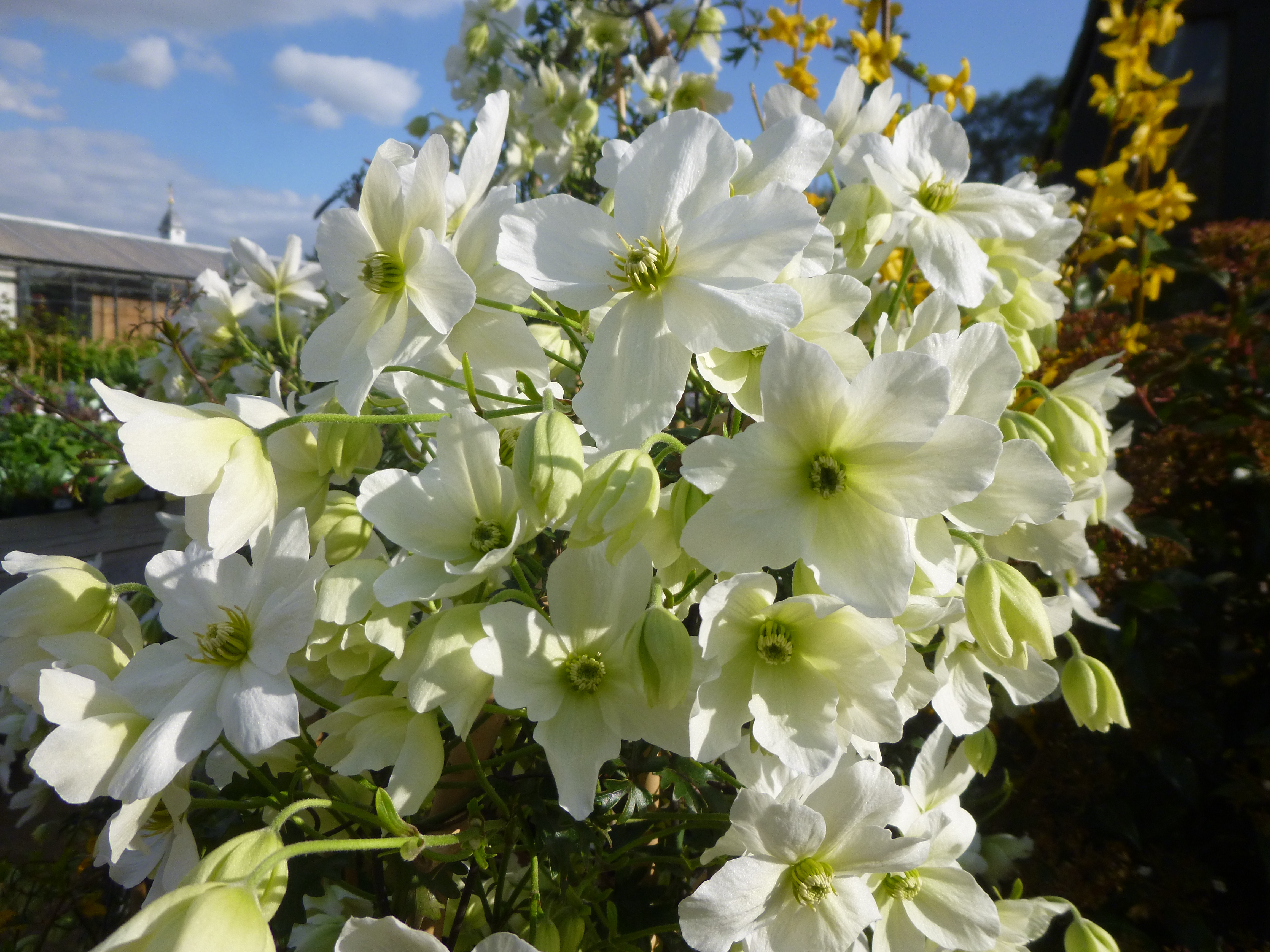 avalanche an evergreen clematis living up to its name. Black Bedroom Furniture Sets. Home Design Ideas
