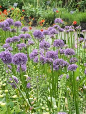 Allium Purple Sensation