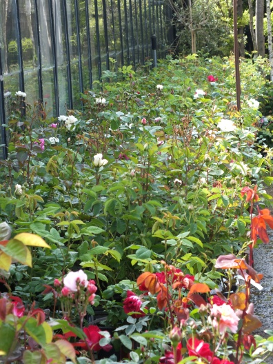the Old Rose beds...