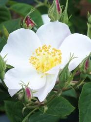 Rosa dupontii