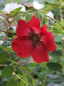 Rosa moyesii Geranium