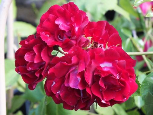 Repeat flowering Rambler, Rambling Rosie