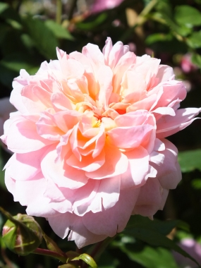 A rather peachy Anne Boleyn