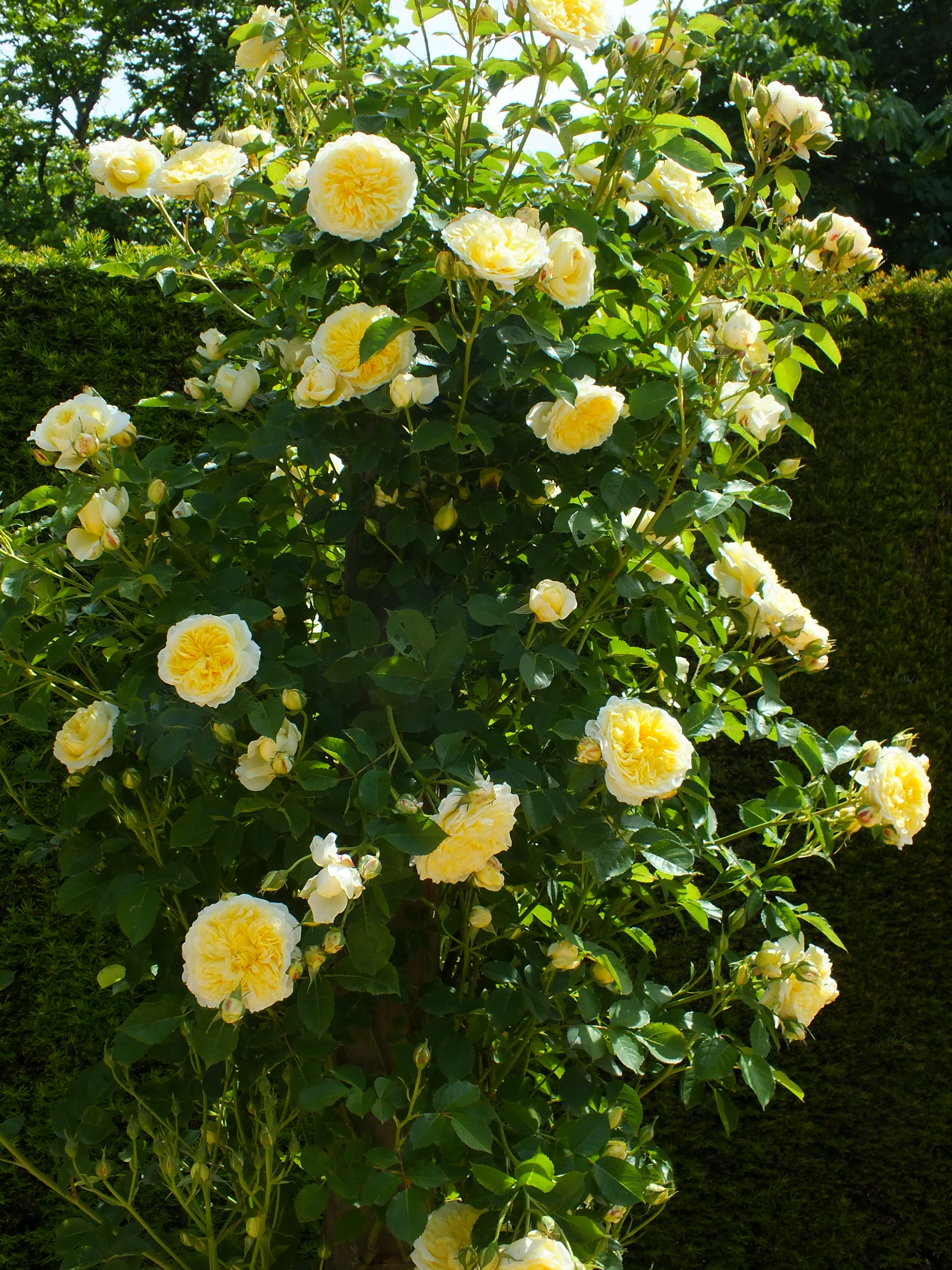 mottisfont abbey rose gardens the teddington gardener. Black Bedroom Furniture Sets. Home Design Ideas