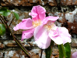 Anemone Rose