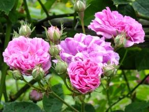 Seven Sisters - Rosa multiflora Platyphylla