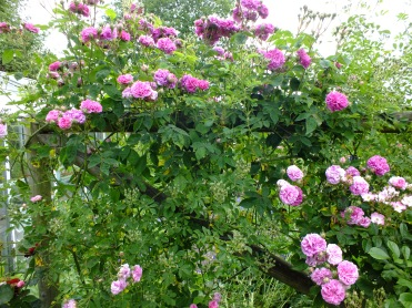 They called me about this rose - Seven Sisters (as at Petersham Nurseries)