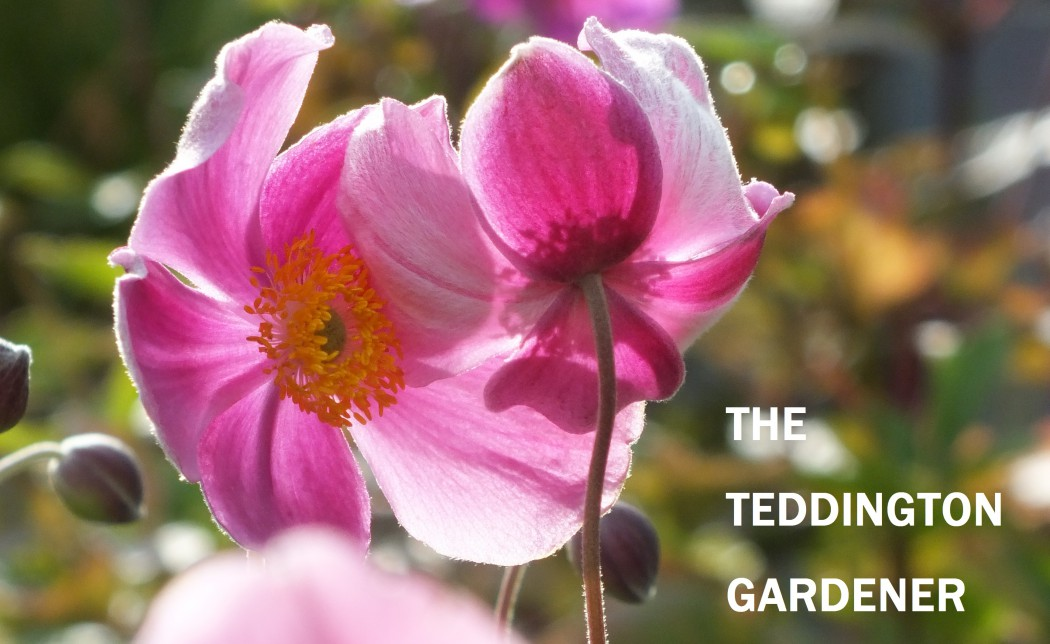 The Teddington Gardener