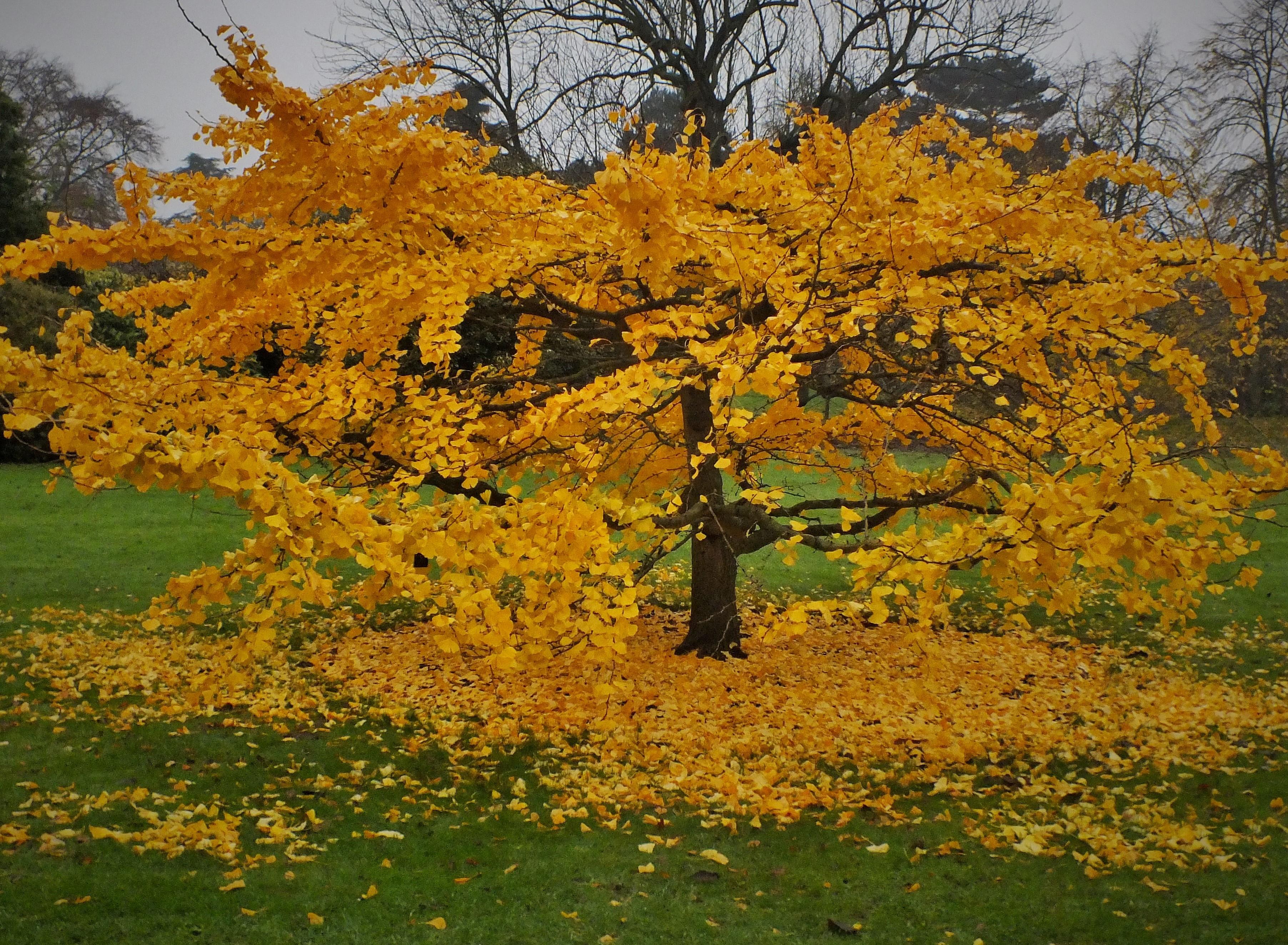 Gilded Trees – Ginkgo biloba and Parrotia persica at Kew Gardens ...