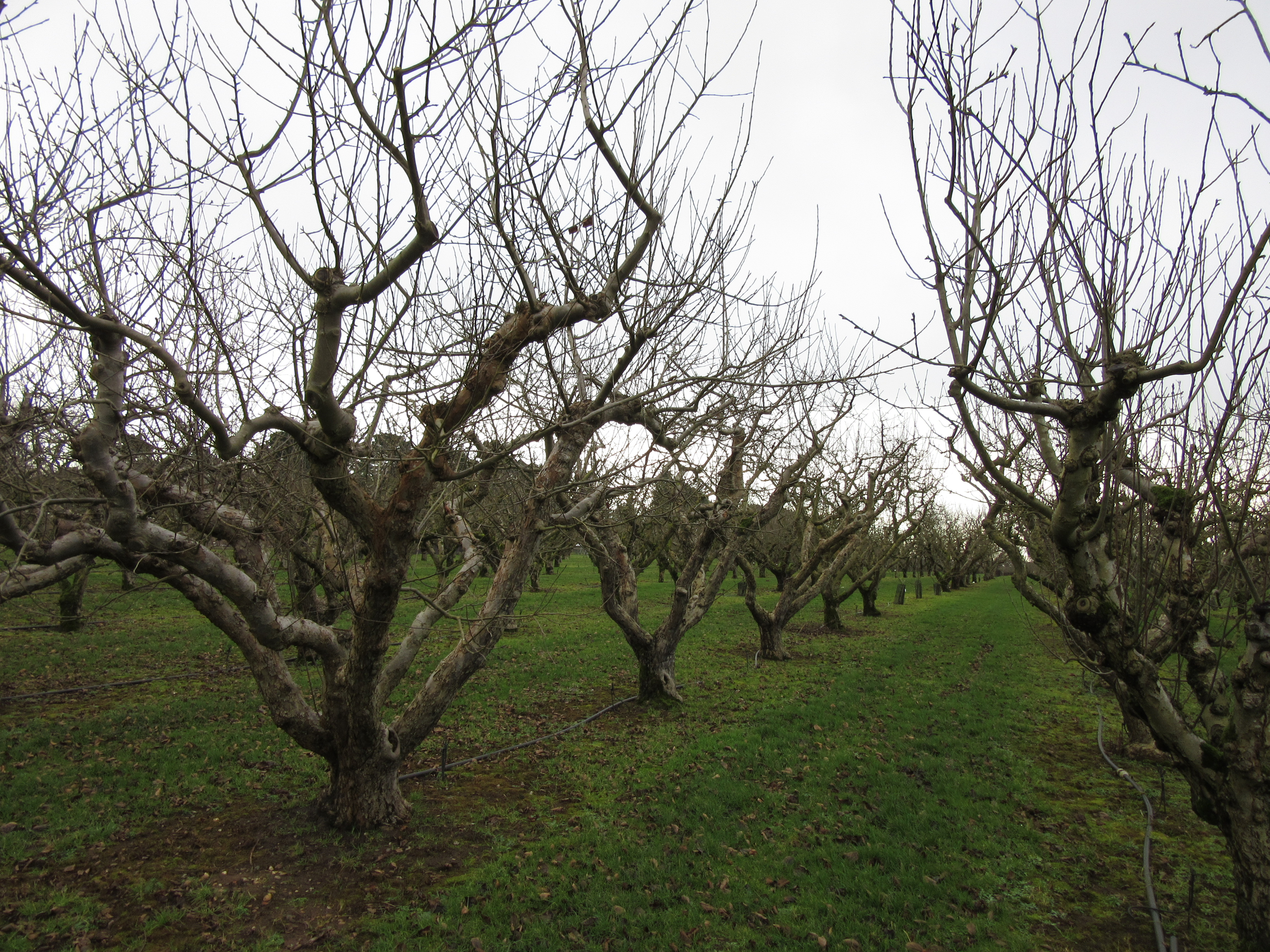 Love Your Apples And Pears Winter Fruit Tree Pruning
