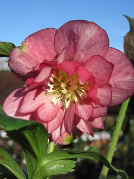 Harvington Double Pink