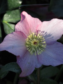 Walberton's Rosemary