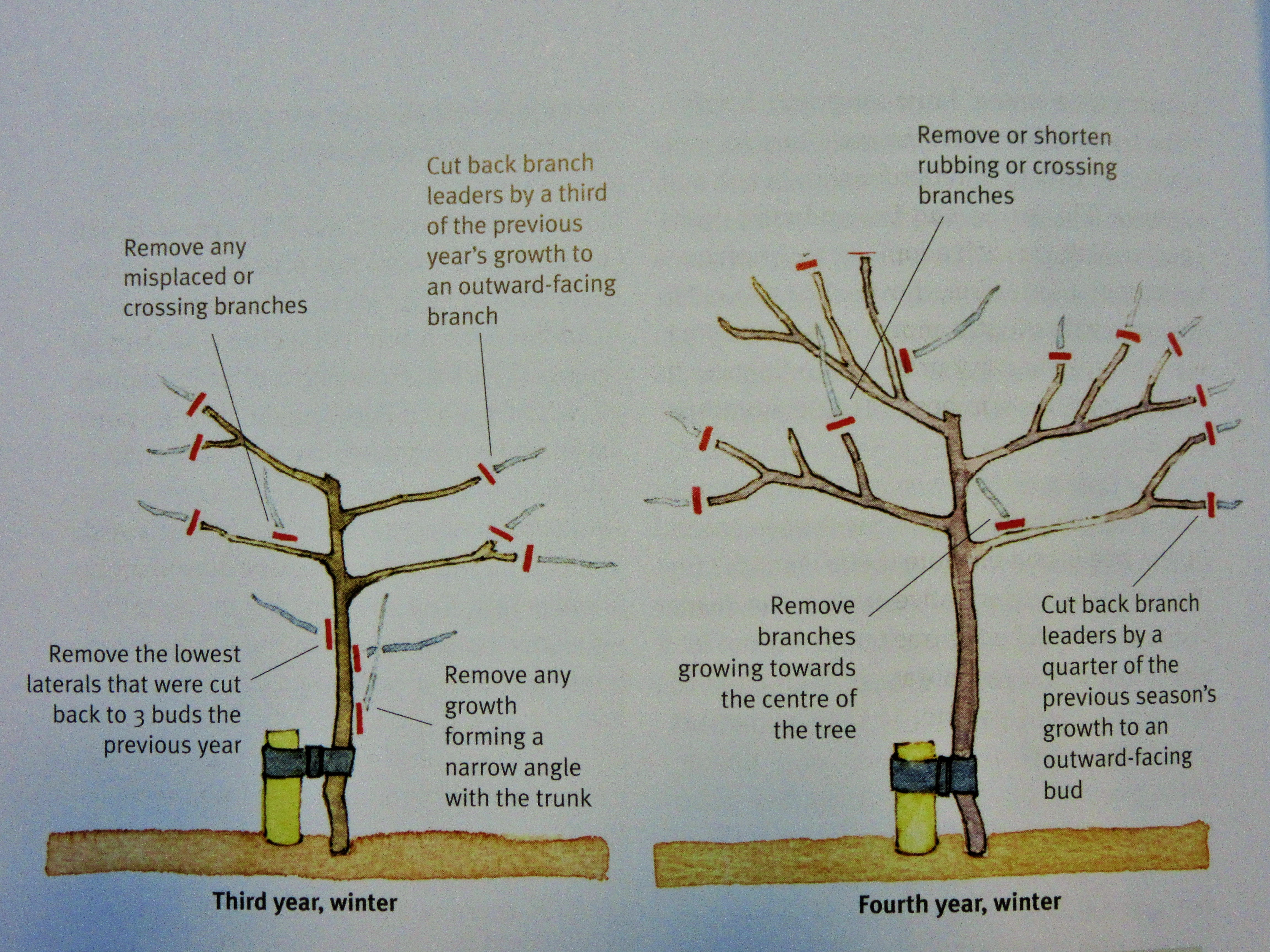 Pruning a mature apple tree