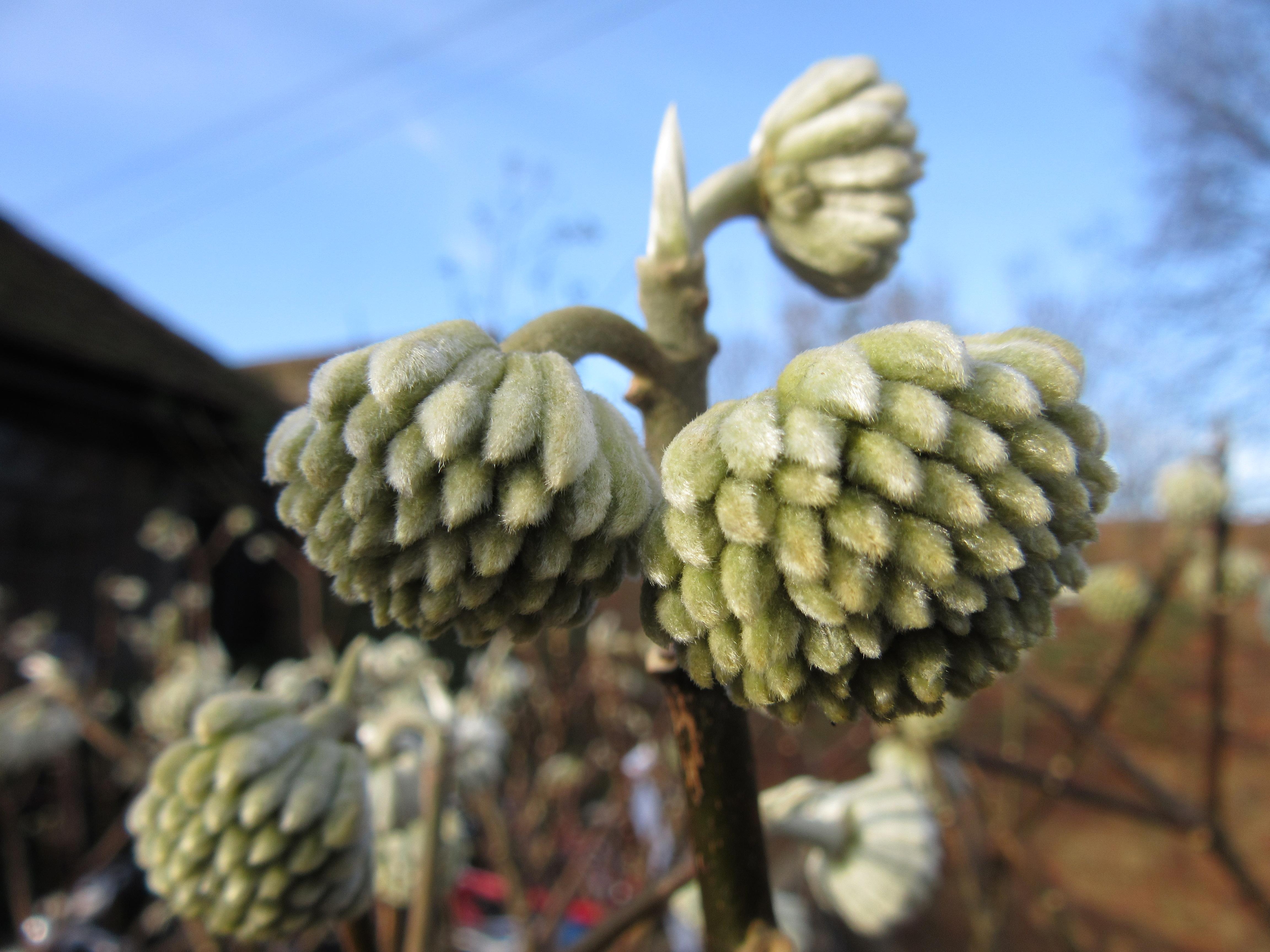 Daphne odora aureomarginata edgeworthia chrysantha for Edgeworthia chrysantha