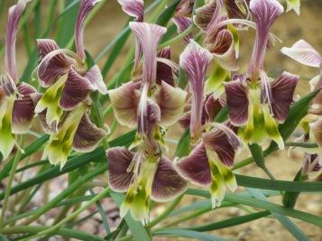 Gladiolus uysiae