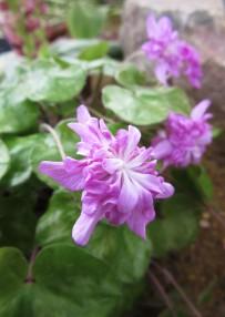 Hepatica nobilis var japonica