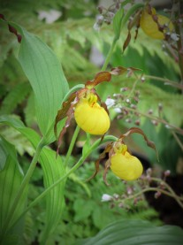 Cypripedium Parville