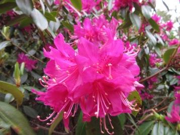 Rhododendron cocinnum pseudoanthinum Group