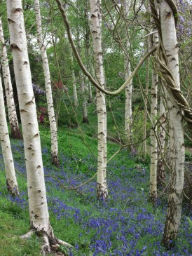 Wisteria garlands these Birch trees