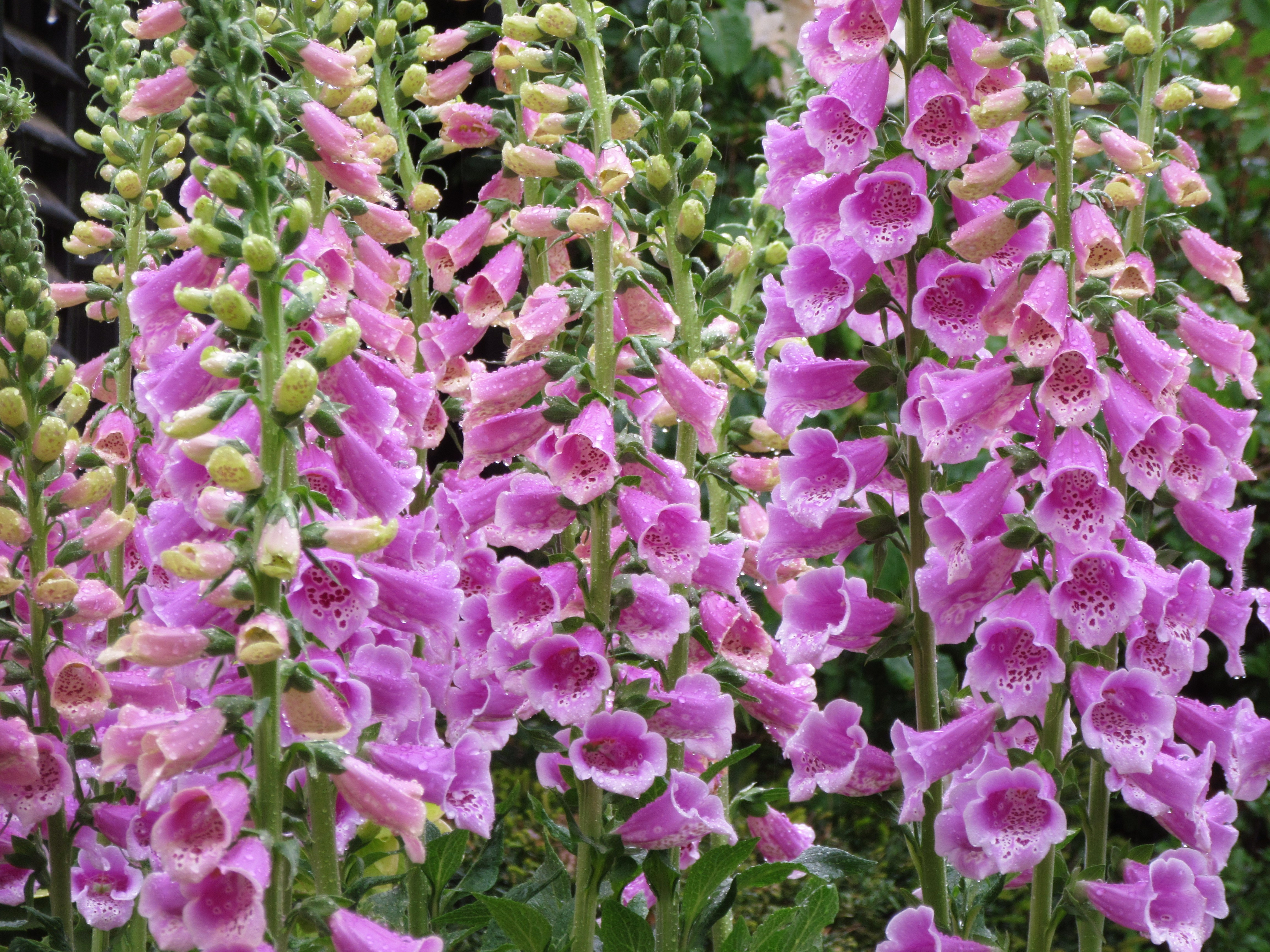 From A Wet Thursday Poppies Wisteria Foxgloves Roses And A